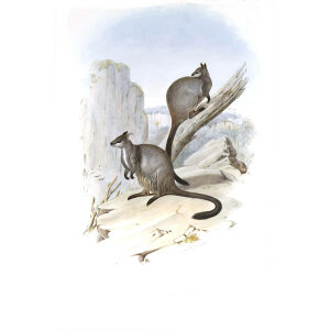 John Gould - Family of Kangaroo - Brush tailed Rock Wallaby - Museum quality giclee print
