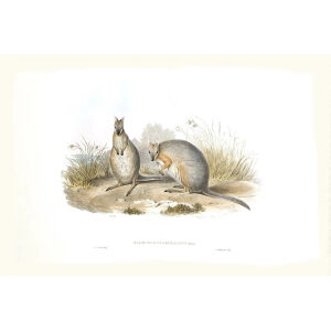 John Gould - Family of Kangaroo - Derbys Wallaby - Museum quality giclee print