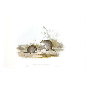 John Gould - Family of Kangaroo - Gilberts Rat kangaroo - Museum quality giclee print