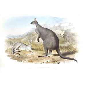 John Gould - Family of Kangaroo - Great Rock Wallaby - Museum quality giclee print