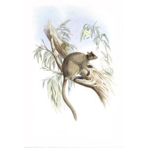 John Gould - Family of Kangaroo - Grizzled tree-kangaroo - Museum quality giclee print