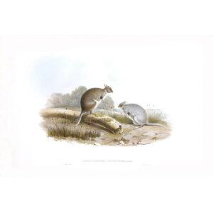 John Gould - Family of Kangaroo - Hare Kangaroo - Museum quality giclee print