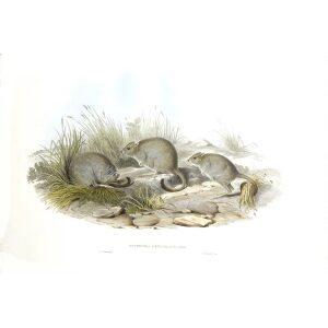 John Gould - Family of Kangaroo - Jerboa kangaroo - Museum quality giclee print