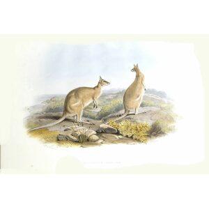 John Gould - Family of Kangaroo - Agile Wallaby - Museum quality giclee print