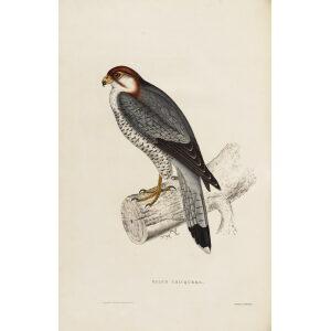 John Gould Himalaya Mountains Plate 002 Falco Chicquera Museum quality giclée print