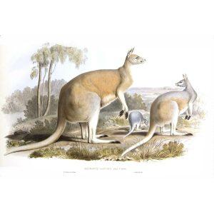 John Gould - Family of Kangaroo - Great Red Kangaroo - Museum quality giclee print