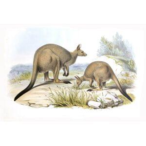 John Gould - Family of Kangaroo - Sooty Kangaroo - Museum quality giclee print