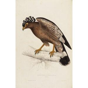 John Gould Himalaya Mountains Haematornis Undulatus Museum quality giclée print