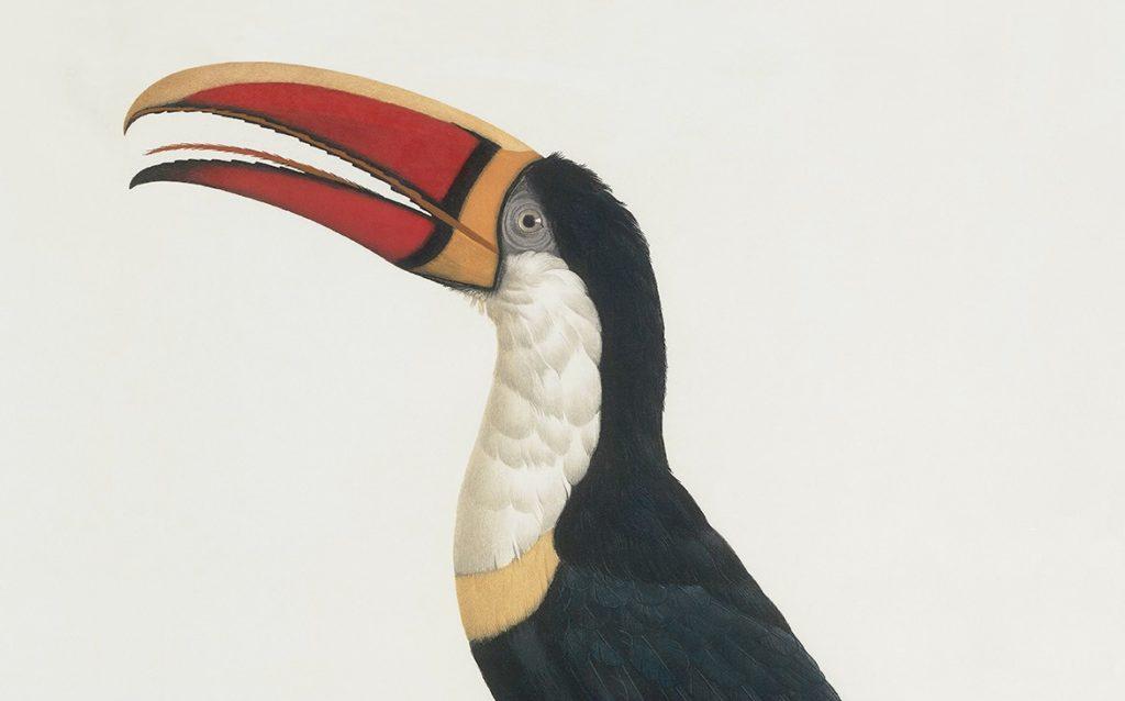 Heritage Prints is a Fine Art Studio that focuses on historic giclée prints. Complete set Histoire naturelle des Toucans - Francois Levaillant