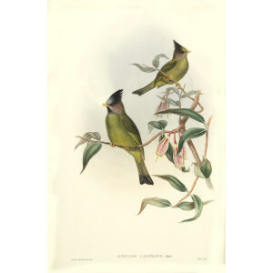 John Gould - Birds of Asia Volume 3 - Museum quality giclee print