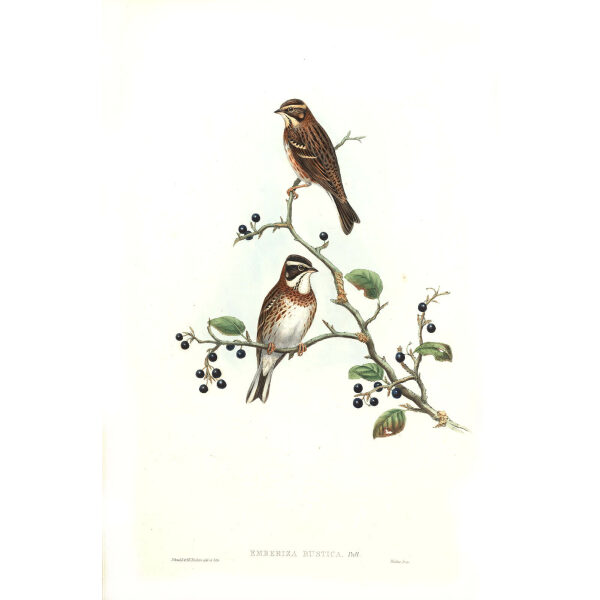 John Gould - Birds of Asia Volume 5 - Museum quality giclee prints