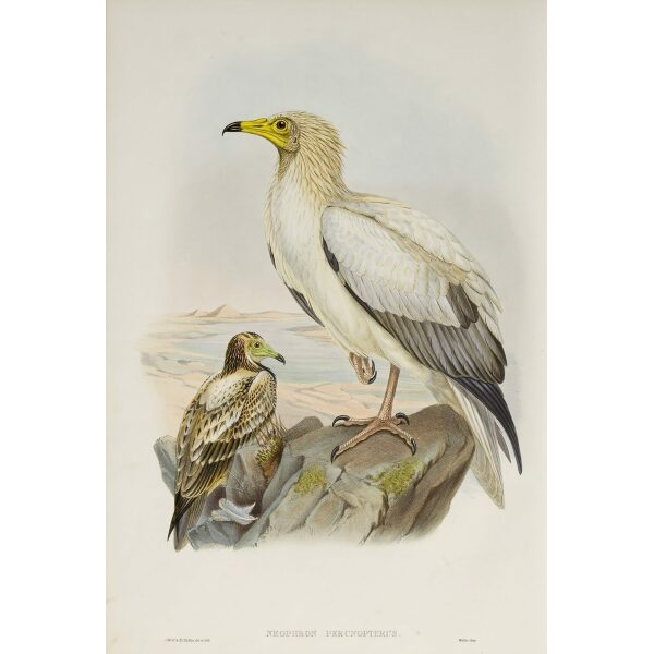Gould - The Birds of Great Britain Volume I - Egyptian Vulture - Museum quality giclee print