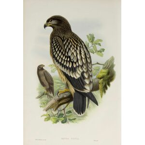 Gould - The Birds of Great Britain Volume I - Spotted Eagle - Museum quality giclee print