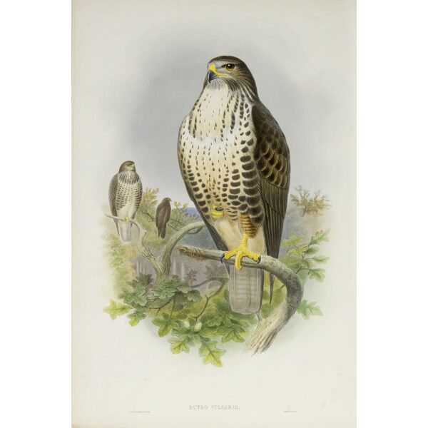 Gould - The Birds of Great Britain Volume I - Common Buzzard - Museum quality giclee print