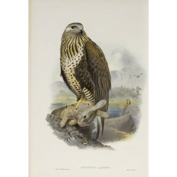 Gould - The Birds of Great Britain Volume I - Rough-legged Buzzard - Museum quality giclee print