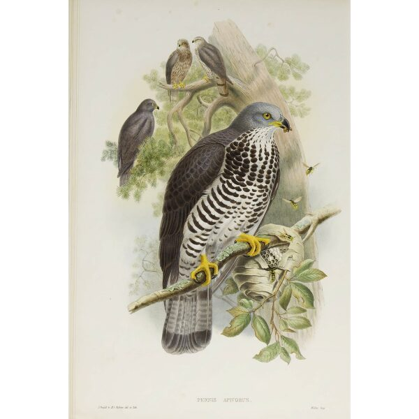 Gould - The Birds of Great Britain Volume I - Honey Buzzard - Museum quality giclee print