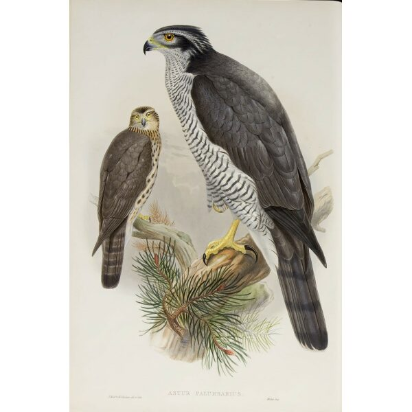 Gould - The Birds of Great Britain Volume I - Goshawk - Museum quality giclee print