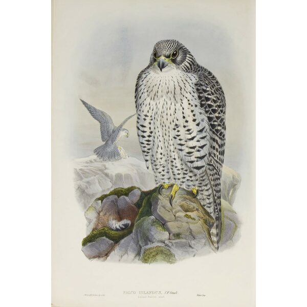 Gould - The Birds of Great Britain Volume I - Iceland Falcon - Museum quality giclee print