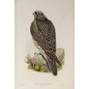 Gould - The Birds of Great Britain Volume I - Iceland Falcon (young) - Museum quality giclee print