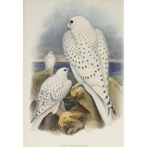 Gould - The Birds of Great Britain Volume I - Greenland Falcon, light race (adult and young) - Museum quality giclee print