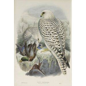 Gould - The Birds of Great Britain Volume I - Greenland Falcon, dark race - Museum quality giclee print