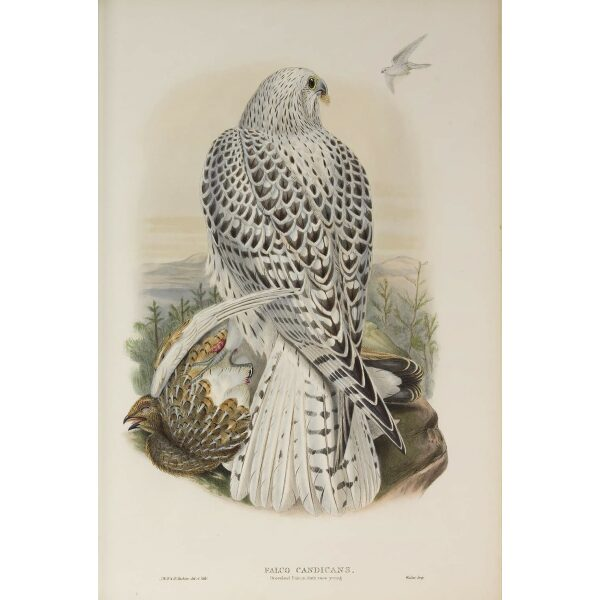 Gould - The Birds of Great Britain Volume I - Greenland Falcon, dark race (young) - Museum quality giclee print