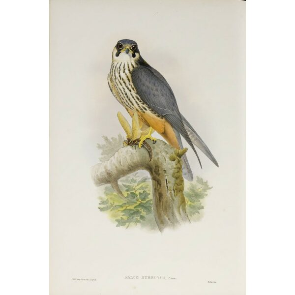 Gould - The Birds of Great Britain Volume I - Hobby - Museum quality giclee print