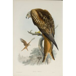 Gould - The Birds of Great Britain Volume I - Kite or Glead