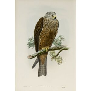 Gould - The Birds of Great Britain Volume I - Black Kite