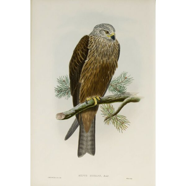 Gould - The Birds of Great Britain Volume I - Black Kite - Museum quality giclee print