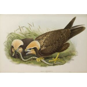 Gould - The Birds of Great Britain Volume I - Marsh-Harrier (young)