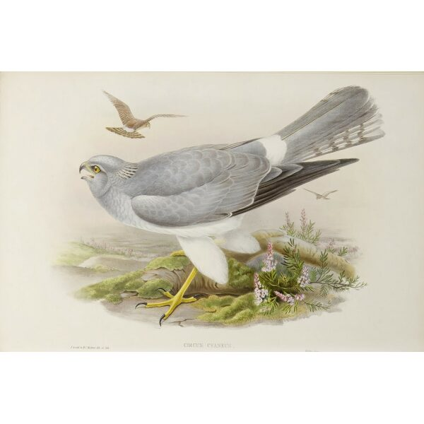Gould - The Birds of Great Britain Volume I - Hen Harrier - Museum quality giclee print