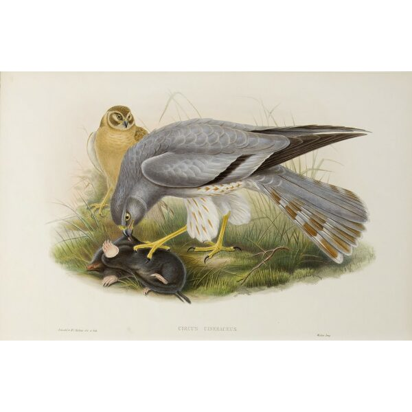 Gould - The Birds of Great Britain Volume I - Ash-coloured Harrier - Museum quality giclee print