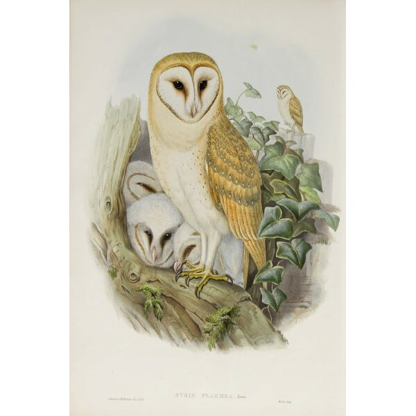 Gould - The Birds of Great Britain Volume I - Barn Owl