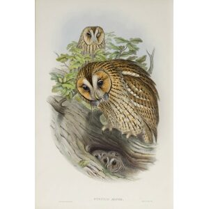 Gould - The Birds of Great Britain Volume I - Tawny or Brown Owl