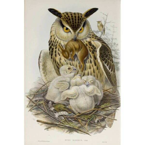 Gould - The Birds of Great Britain Volume I - Eagle Owl