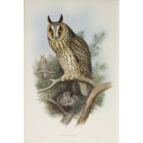 Gould - The Birds of Great Britain Volume I - Long-eared Owl