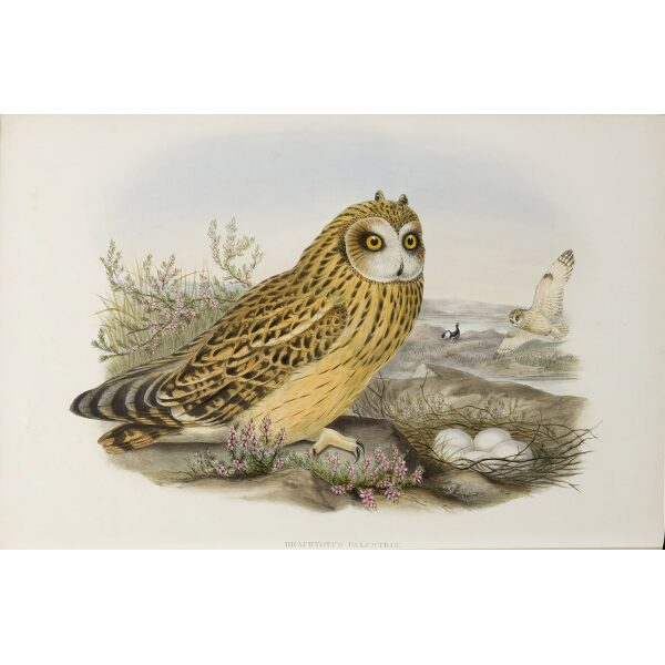 Gould - The Birds of Great Britain Volume I - Short-eared Owl