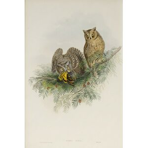 Gould - The Birds of Great Britain Volume I - Scops Eared Owl