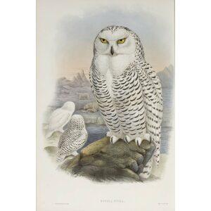 John Gould Birds of Great Britain - Snowy Owl