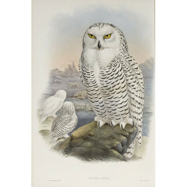 John Gould Birds of Great Britain - Snowy Owl