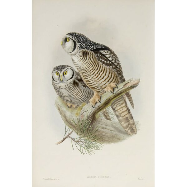 Gould - The Birds of Great Britain Volume I - Hawk Owl