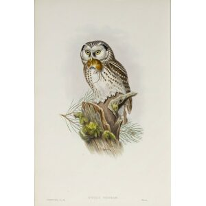 Gould - The Birds of Great Britain Volume I - Tengmalm's Owl