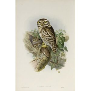 Gould - The Birds of Great Britain Volume I - Little Owl