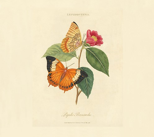 Donovan Insects of China, India and New Holland Giclée Print