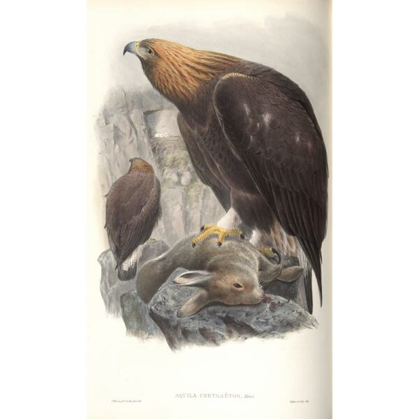Gould - The Birds of Great Britain Volume I - Golden Eagle - Museum quality giclee print