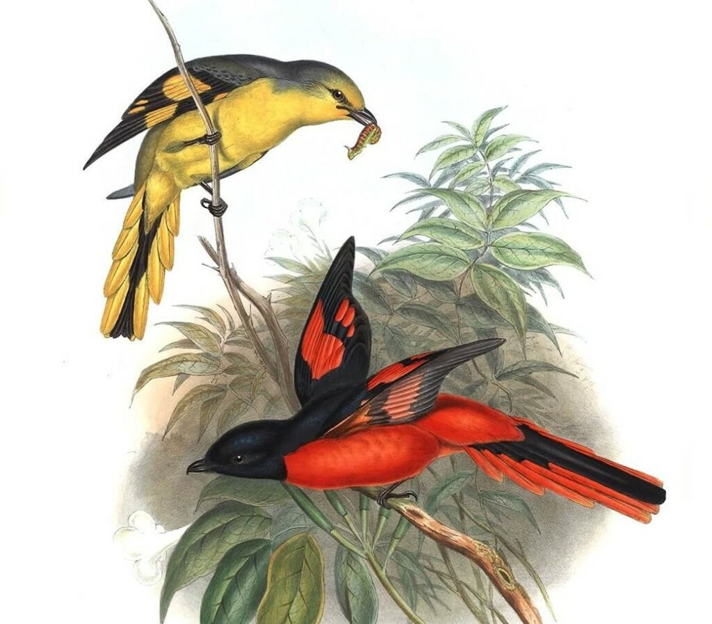 John Gould Complete Set Birds of Asia Volume 2 - Museum quality giclee print