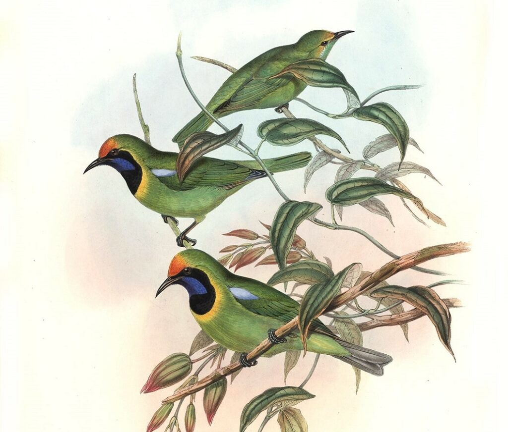 John Gould Complete Set Birds of Asia Volume 3 - Museum quality giclee print