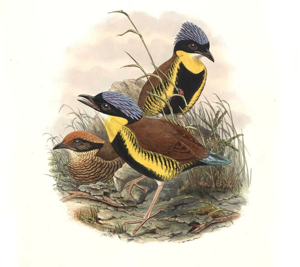 John Gould Complete Set Birds of Asia Volume 5 - Museum quality giclee print