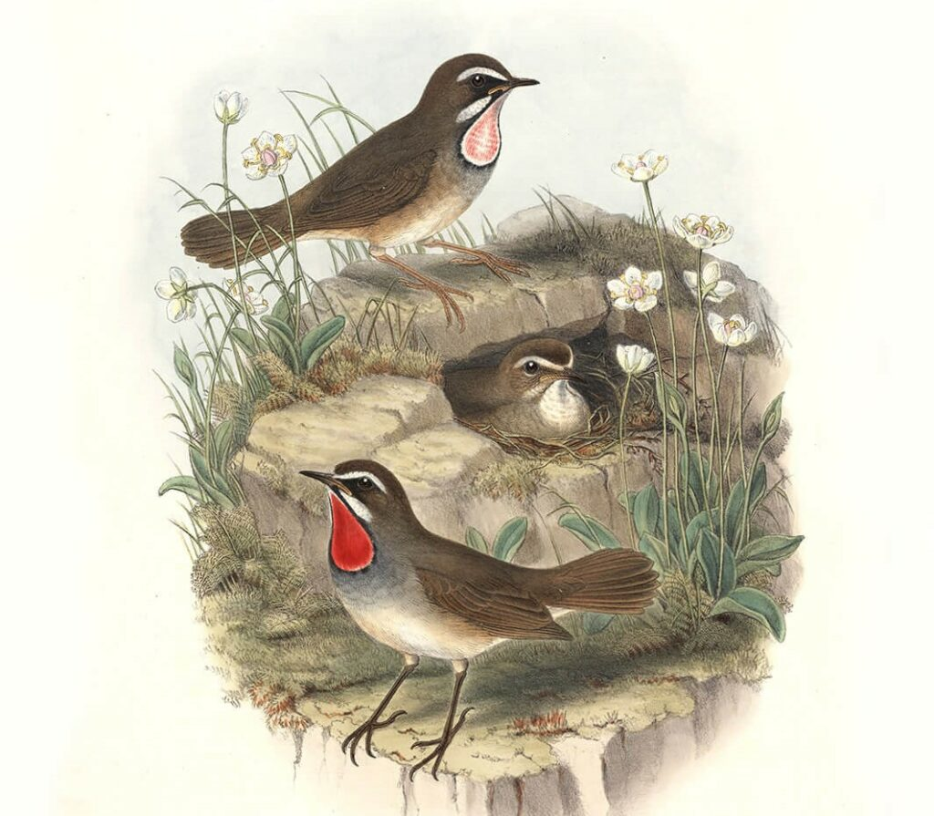 John Gould Complete Set Birds of Asia Volume 4 - Museum quality giclee print